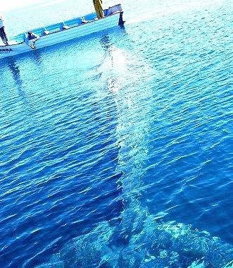 Grey Whale, Magdalena Bay, Baja, Mexico