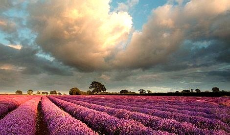 Lavender Field, Somerset, England