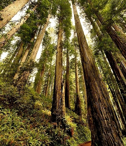 Among the giants, Prairie Creek Redwoods State Park in California, USA